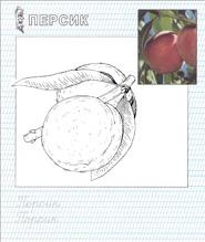 раскраска персик
