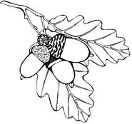 раскраска желоди дуба