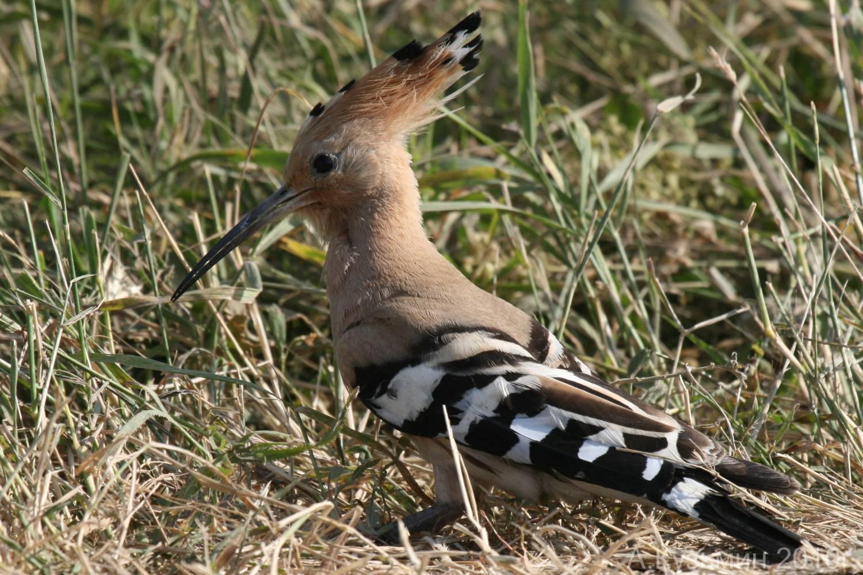 оспа тяжелая птицы обитающие в днепропетровской области фото желаем