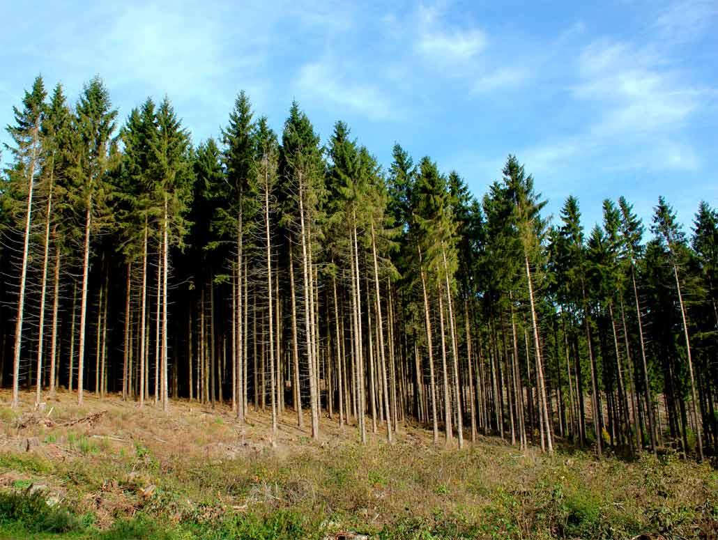 Реферат на тему хвойные леса 2385