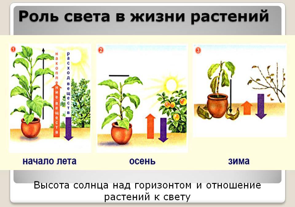 Свет в жизни растений доклад 2280