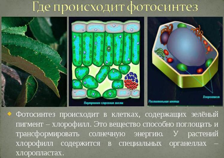 Хлорофилл имеет зеленый цвет благодаря наличию