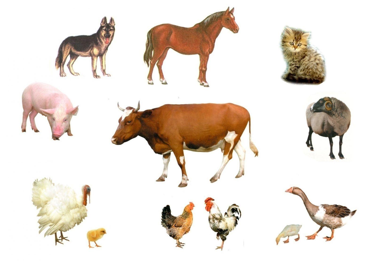 Дикие и домашние животные картинки для детей карточки