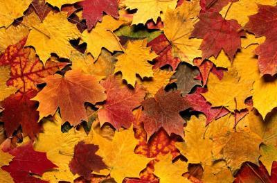 Бордовые осенние листья