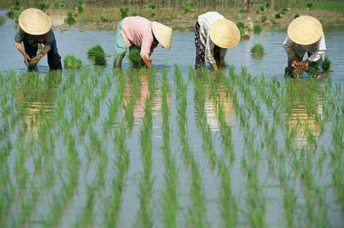 Какую сельскохозяйственную культуру выращивали китайцы?