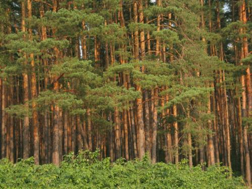 сосновый лес Урала