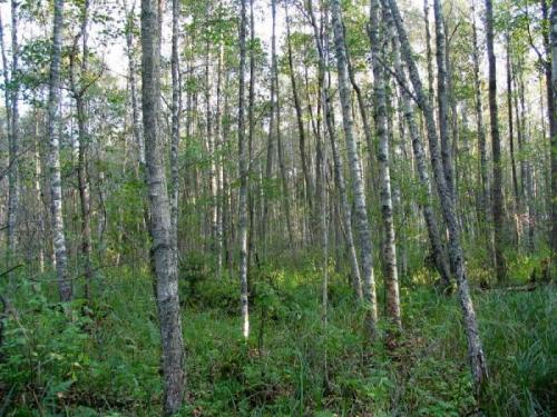 типичный мелколиственный лес