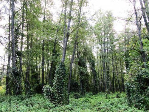 дикий мелколиственный лес